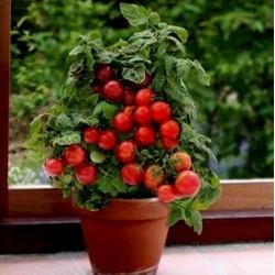 Ντομάτα σπόροι Montecarlo