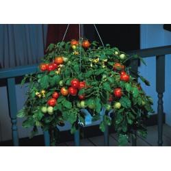 Semillas de Tomate Montecarlo
