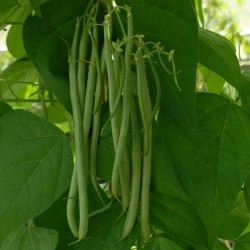 Semillas Haba Fasold (Phaseolus vulgaris)