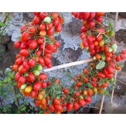 Graines Tomate Cerise Rouge DATTERINO - DATTERINI