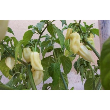 """Fatalii White"" Chili Seeds"