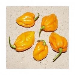 Big Sun - Yellow Sun Habanero Seme