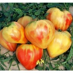 Tomaten Samen Orange Russian