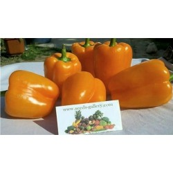 Orange Sun Paprika Seme