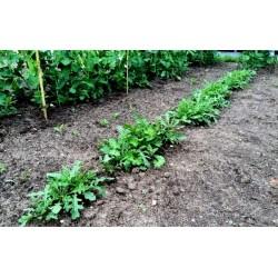 Graines de Roquette (plante)