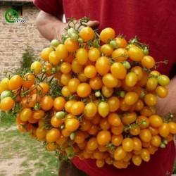 Semillas de tomate ILDI