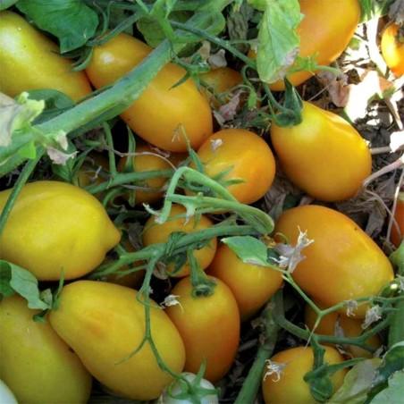 Tomato Seeds GOLDEN SAN MARZANO