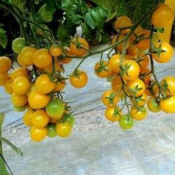 Kirsch Tomate Samen Gelbe - Yellow Cherry