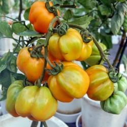 YELLOW STUFFER (Tomatenpaprika) Tomaten Samen