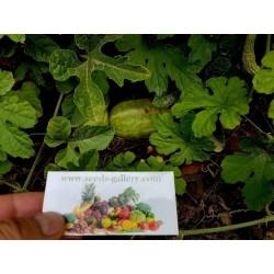 Gurke Samen Cucumis anguria