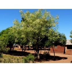 Meerrettichbaum Wunderbaum Samen Moringa oleifera