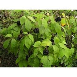Siberian Ginseng Seeds, Eleuthero or Ciwujia