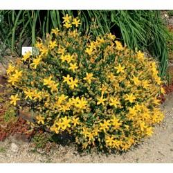 Seme Kantariona - Zacinsko i lekovito bilje