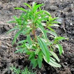 Cubar Seme lekovita i zacinska biljka