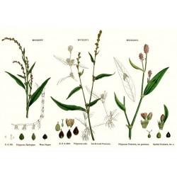 Water pepper seeds (Polygonum hydropiper)