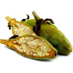 Madagascar Baobab Tree Seeds