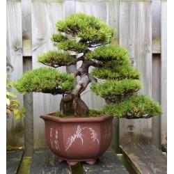 Semi di Pino mugo Bonsai (Pinus mugo)