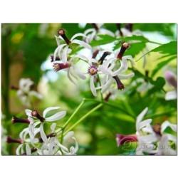 Nimtree Seeds, Neem, Indian Lilac