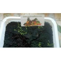 Maca Frön (Lepidium meyenii)