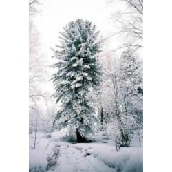 Sibirski Kedar - Bor Seme (Pinus sibirica)