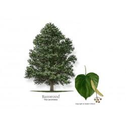 Tilia Tree Seeds