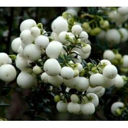 Semi di Gaultheria miqueliana