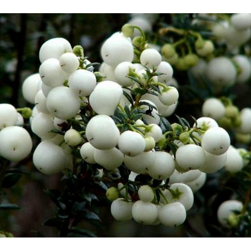 Semillas de Gaultheria miqueliana