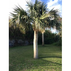 Sabal bermudana - Bermuda-Palmetto Palmen Samen