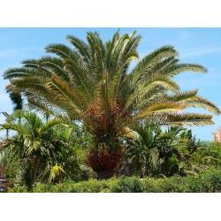 Seme Palme Kanarska datulja