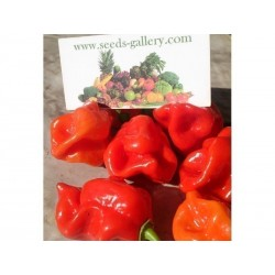 Graine De Piment Gambia Red