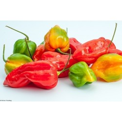 Graines de Piment Devil's Tongue Red Habaneros