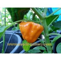 MUSHROOM YELLOW Chili Samen