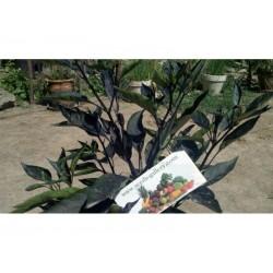 Orozco Chilli Pepper Seeds