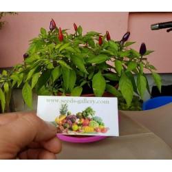 Σπόροι τσίλι Purple Pepper