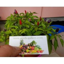 Purple pepper Chili Samen