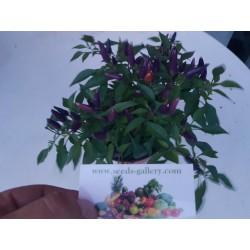 Semi Di Peperoncino Purple Pepper