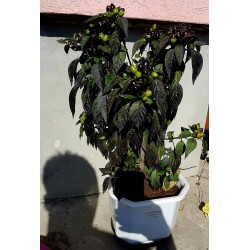 Graines de Piments Royal Black