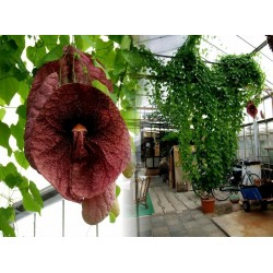 Agrostis gigantean Seme – Biljka mesozderka