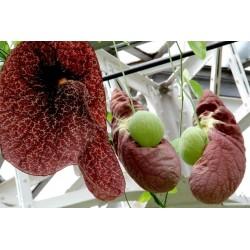 Semillas de Aristolochia Planta carnívora