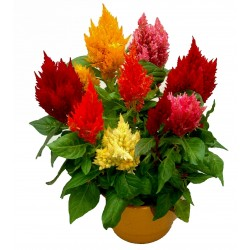Sementes de Celosia Argentea Mix