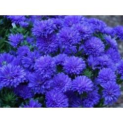 Chinese Aster Blue Samen
