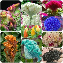 Hahnenkamm Samen Mega-Blüten