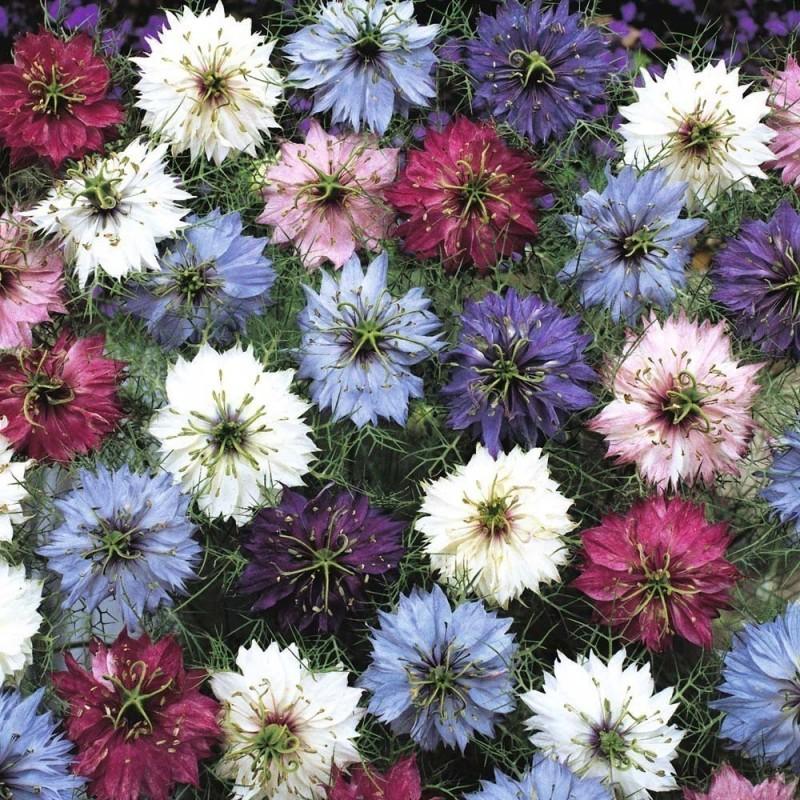 Graines de Nigelle de Damas multicolore
