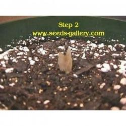 "Plumeria Frangipani Seeds ""Orangelight"""