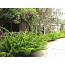 Asparagus densiflorus 'Sprengeri' Seme