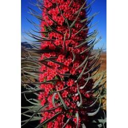 Sachet de 10 graines d'Echium Wildpretii Vipérine des Canaries