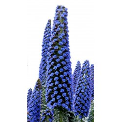 Blue Steeple Tower of Jewels Seeds
