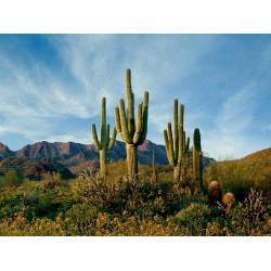 Graines de Cactus Saguaro