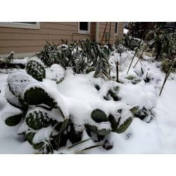 Wheel Cactus or Camuesa Seeds (Opuntia robusta)