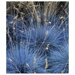 Graines de Festuca glauca Fétuque bleue